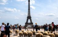 Bleating the traffic: sheep dodge cars in tour around Paris